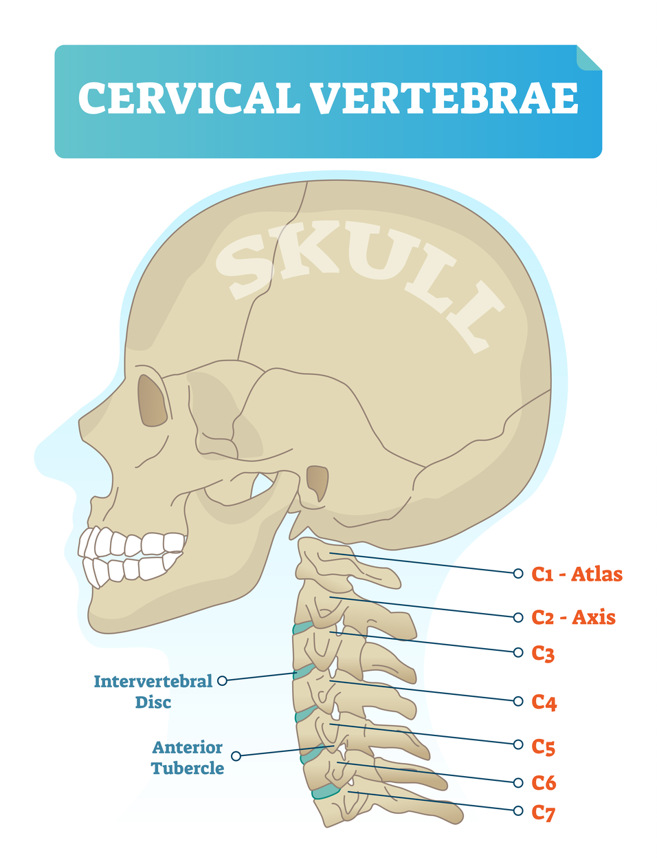 A chiropractor can help with post-concussion syndrome by making adjustments to C1 and C2 if the patient needs it.