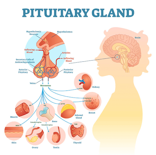 The pituitary gland plays an important role in hormone balance.