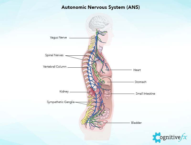 Autonomic Nervous System (ANS) controls the Vagus Nerve, Spinal Nerves, Vertebral Column, Heart, Stomach, Kidney, Small Intestine, Sympathetic Ganglia, and Bladder, as shown in this graphic.
