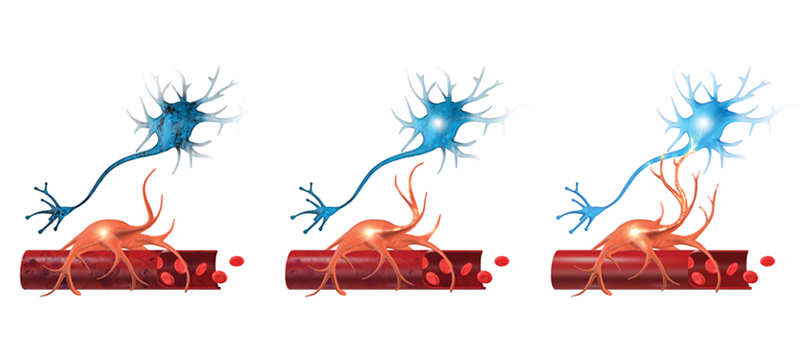 Neurovascular coupling (NVC) is the connection between neurons and blood vessels.