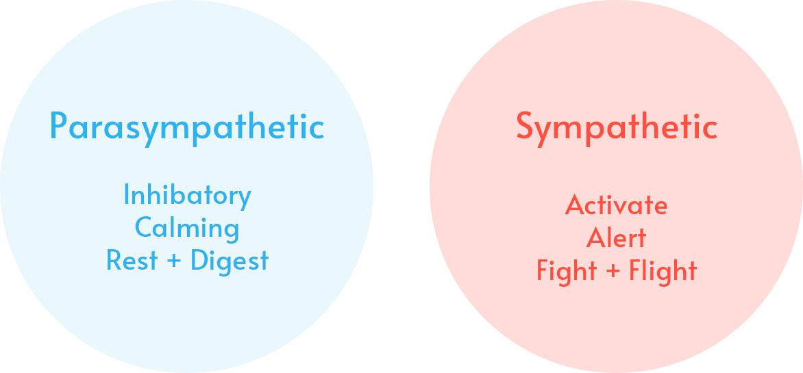 Parasympathetic: Inhibatory, Calming, Rest + Digest; Sympathetic: Activate Alert Fight + Flight