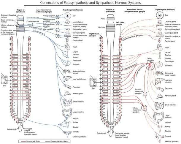 Connections of Parasympathetic and Sympathetic Nervous Systems
