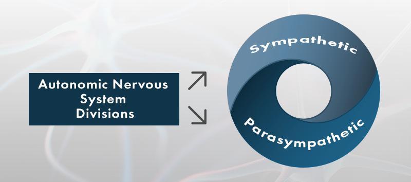 Autonomic Nervous System Divisions: Sympathetic and Parasympathetic.