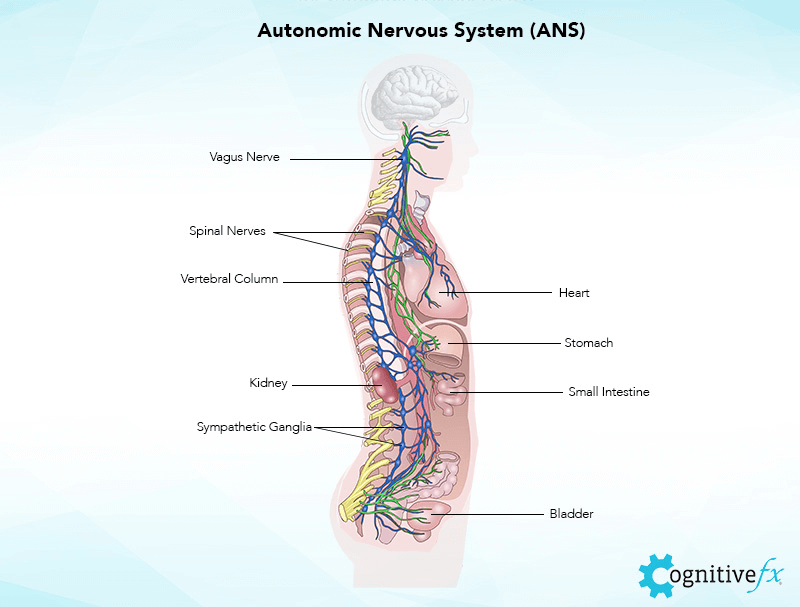 The Autonomic Nervous System (ANS) in humans: Vagus nerve, Spinal nerves, Vertebral Column, Heart, Stomach, Kidney, Small intestine, Sympathetic ganglia, Bladder.