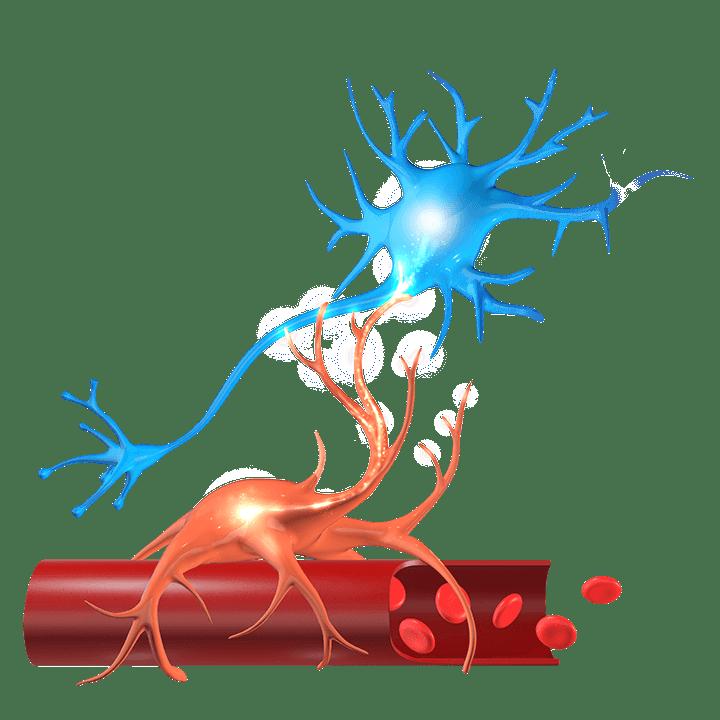 What is NeuroVascular Copling (NVC)